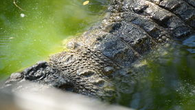 Crocodile swimming in a river of a natural park stock footage