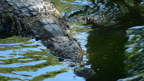 Crocodile swimming in a river in a natural park or zoo. Crocodile or alligator in a river of a natural park or zoo stock video