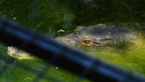 Crocodile swimming in a river of a natural park or zoo stock video footage