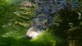 Crocodile swimming in a river of a natural park or zoo. Crocodile or alligator in a river of a natural park or zoo stock footage