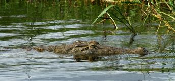 Creepy Crocodile Closeup. A crocodile swims along the Nile river with its head half above the water in Murchison Falls National Park, Uganda stock images