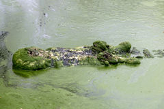 Crocodile swims in green marshes Stock Photos