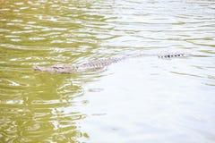 Crocodile Swims under Water across Sunlight Path. Closeup large crocodile swims under rippled pond water across sunlight path on breeding farm in tourist park in Stock Photo