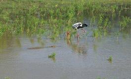 The crocodile swims up to the Indian Marabu. Yala Park, Sri Lanka Stock Image