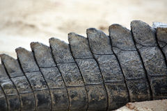 Crocodile tail Stock Photo