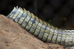 Crocodile tail Royalty Free Stock Images