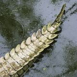 Crocodile tail. Stock Photo