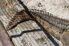 Crocodile tail. Stock Photography