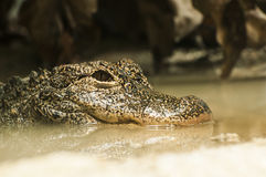 Crocodile. Is taking a rest Stock Images