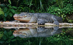 Crocodile. Taking rest in the forest Royalty Free Stock Images