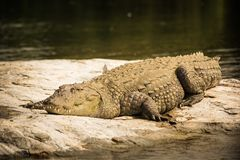 Crocodile taking rest on Rock in the lake. Crocodile sleeping on Rock  in the lake during morning times, The Pic form View Royalty Free Stock Photography