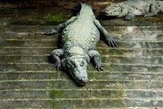 Crocodile Taking Sunbath. At Zoo royalty free stock photo