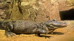 Crocodile in a tank with rock coming towards the camera stock video footage