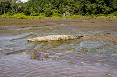 CROCODILE, TARCOLES RIVER, COSTA RICA. An American Crocodile lies on a river bank in Costa Rica stock image