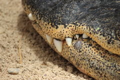 Crocodile teeth Stock Images