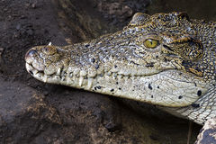 Crocodile teeth and detail of the eye, Semi hidden Stock Photos