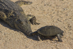 Crocodile and Terrapin Stock Images