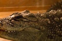 Crocodile in terrarium. Crocodile with the big fangs at the terrarium Royalty Free Stock Photos