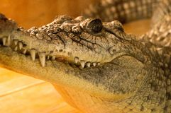 Crocodile in terrarium. Crocodile with the big fangs at the terrarium Stock Photos