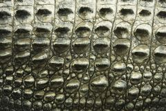 Crocodile texture. Royalty Free Stock Photo