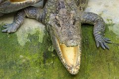 Crocodile in Thailand. Crocodile face front view in Thailand Stock Image