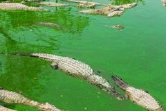 Crocodile in thailand Royalty Free Stock Photos
