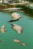 Crocodile in thailand Stock Image
