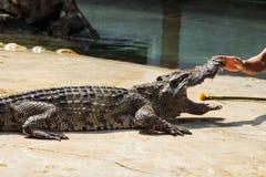 Crocodile in thailand Royalty Free Stock Photos