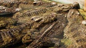Crocodile in thailand Stock Photography