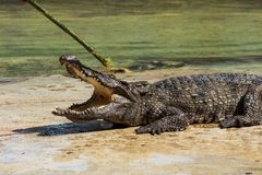 Crocodile in thailand Royalty Free Stock Image