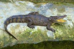 Crocodile in Thailand. Small crocodile in crocodile farm Stock Photo