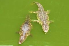 Crocodile in Thailand. Two small crocodiles in crocodile farm Royalty Free Stock Photography