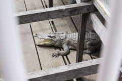Crocodile in Tonle Sap Stock Images