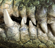 Crocodile tooth Stock Photo