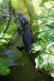 Crocodile top view Royalty Free Stock Photography