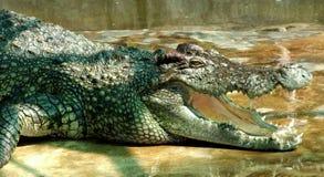 Crocodile très vieux photographie stock libre de droits