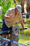Crocodile trainer feeds a Saltwater Crocodile female in Queensla Royalty Free Stock Image