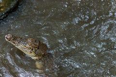 Crocodile in tropical Bali island Zoo, Indonesia. Royalty Free Stock Image