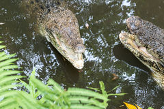 Crocodile in tropical Bali island Zoo, Indonesia. Royalty Free Stock Photography