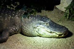 Crocodile. Tropical crocodile sleeping.African crocodile in captivity at a zoo Stock Photography