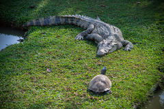 Crocodile and turtle Stock Photos