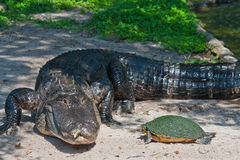 Crocodile and turtle on waterside. Stock Photos