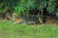 Crocodile Under Branches with Mouth Open. A crocodile sits under a tree with its mouth open stock image