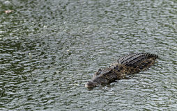 Crocodile   under  the rain Royalty Free Stock Photography