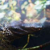Crocodile under water Stock Photography