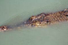 Crocodile under water Royalty Free Stock Photos