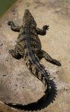 Crocodile vivant sur la terre dans le jour d'été Photos libres de droits