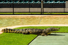 Crocodile Waiting For The Show. The crocodile was very eager to participate in the show at the Australia Zoo royalty free stock image