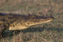 Crocodile Walking on land. A nile crocodile walking near bank along the Choebe river Royalty Free Stock Photo