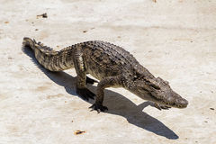 Crocodile walking Royalty Free Stock Image